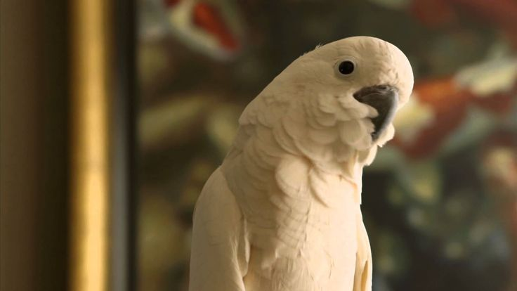 Parrot Confidential | Nature, Preview | PBS