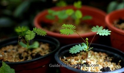 Mimosa pudica is known as Sensitive Plant for its ability to quickly close its leaves when touched. Discover how to sow Sensitive Plant seed, and grow this ticklish plant indoors.