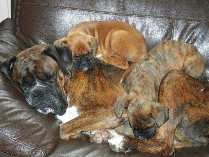 Everything About The Active Boxer Pups Size