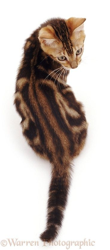 Tabby cat looking round