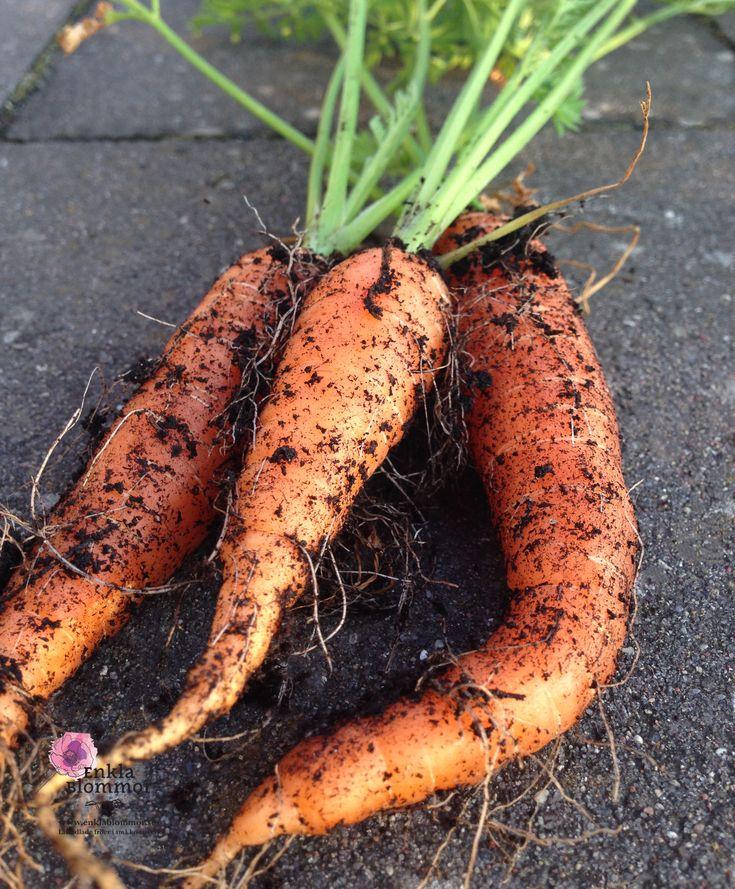 Odla grönsaker - Morötter. Perfekt att odla i pallkrage. Eller odla med barn, flera olika frön. Många ekologiska fröer. www.enklablommor.se