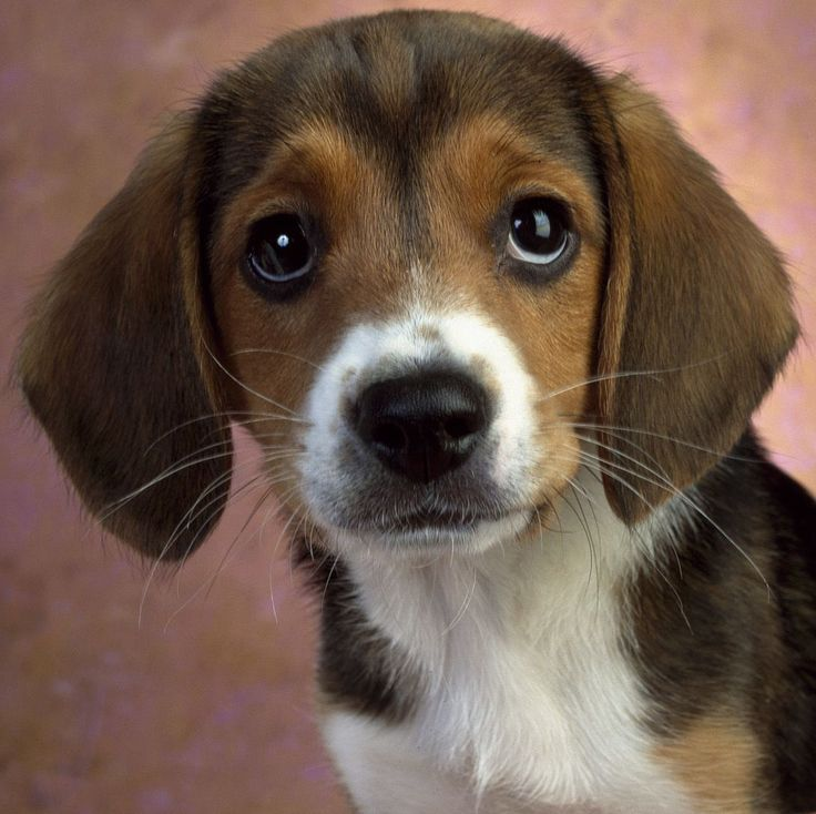 Beagle Temperament Beagles Pinterest Beagle