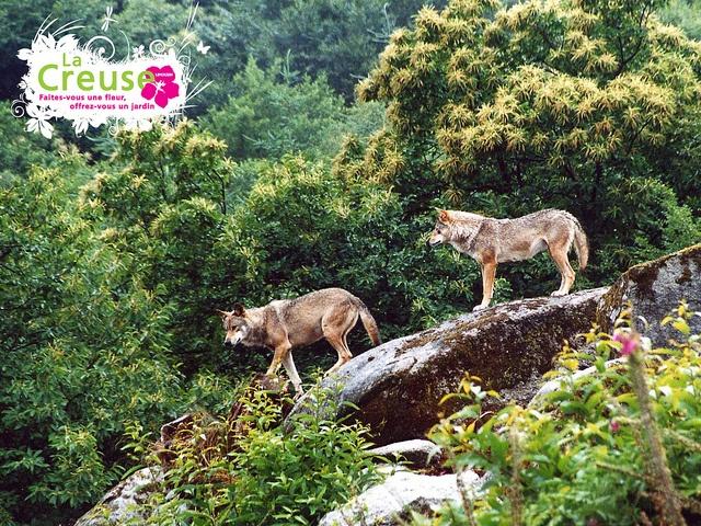 Parc aux loups de la forêt de Chabrières à Guéret  - Préparez vos vacances dans la Creuse : www.tourisme-creuse.com  - Crédits : ADRT23©J.Chéron