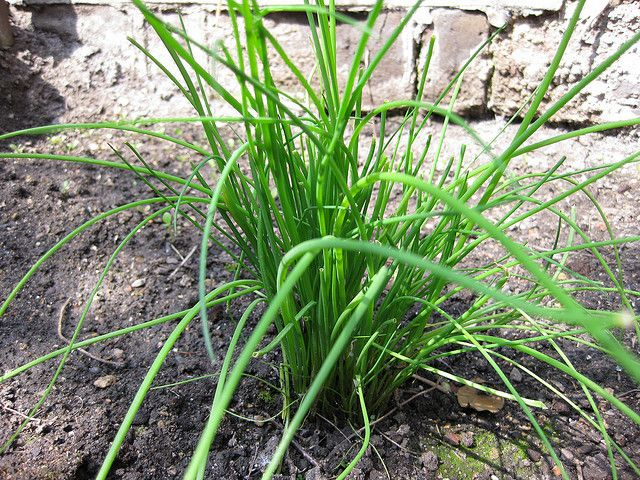 How To Grow Chives From Seed Growing Chives Plants Growing Cilantro