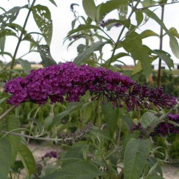 Buddleja davidii 'Royal Red' - Sommerflieder / Schmetterlingflieder 'Royal Red' jetzt günstig in Ihrem MEIN SCHÖNER GARTEN - Gartencenter schnell und bequem online bestellen.