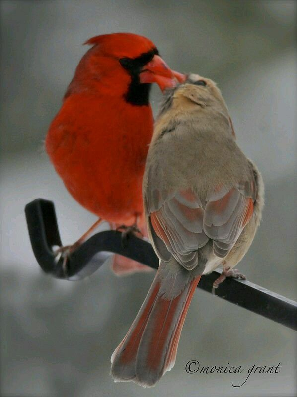 Male And Female Cardinals Pair Cardinal Birds Animals