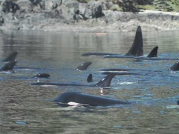 Northern Resident Orcas of Vancouver Island.