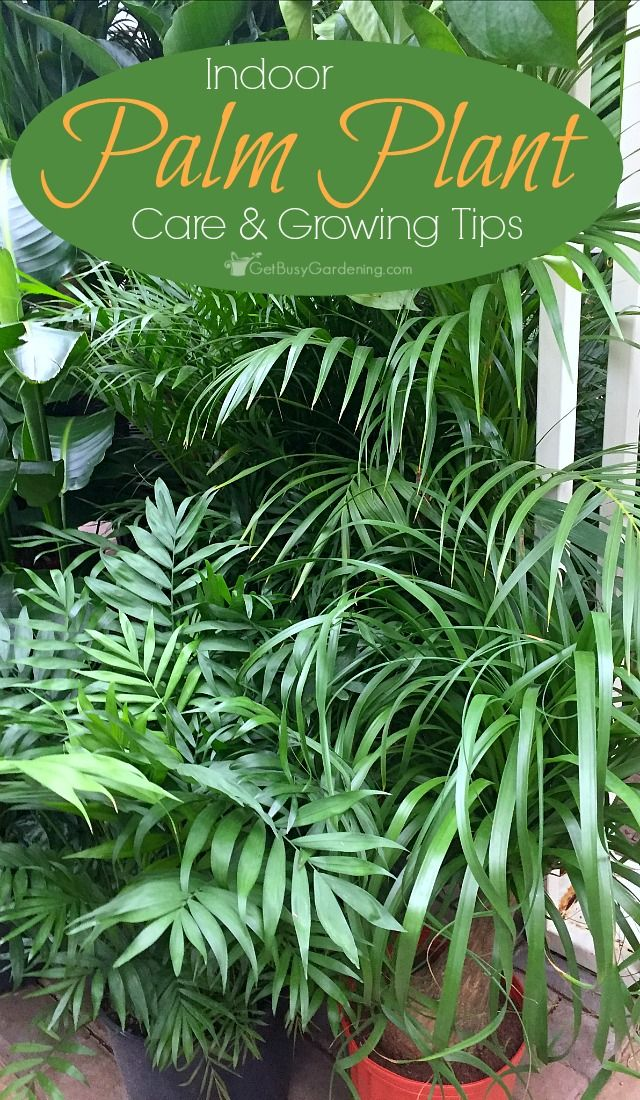 Good Caring For Tropical Plants Part - 13: How To Care For Indoor Palm Trees And Plants