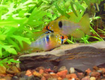 31 Best Ramirezi Images On Pinterest Fish Aquariums