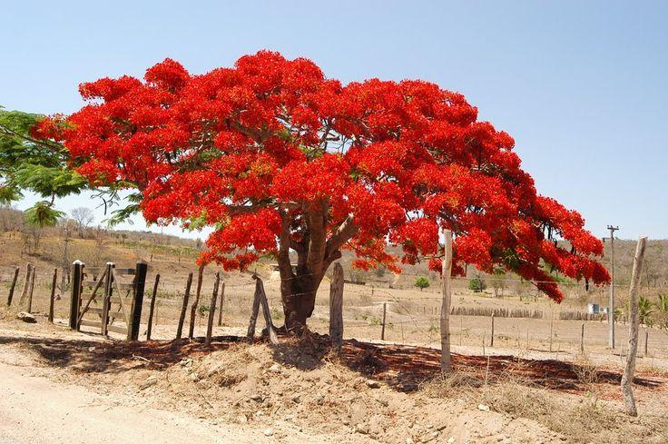 Flamboyant no Sertão