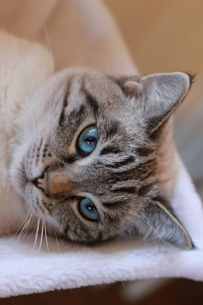 lynx point kitty ~ beautiful