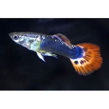 36 best images about freshwater animals on pinterest for Fancy guppy fish