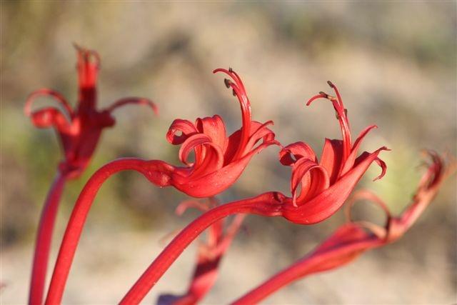 Amaryllidaceae brunsvigia orientalis