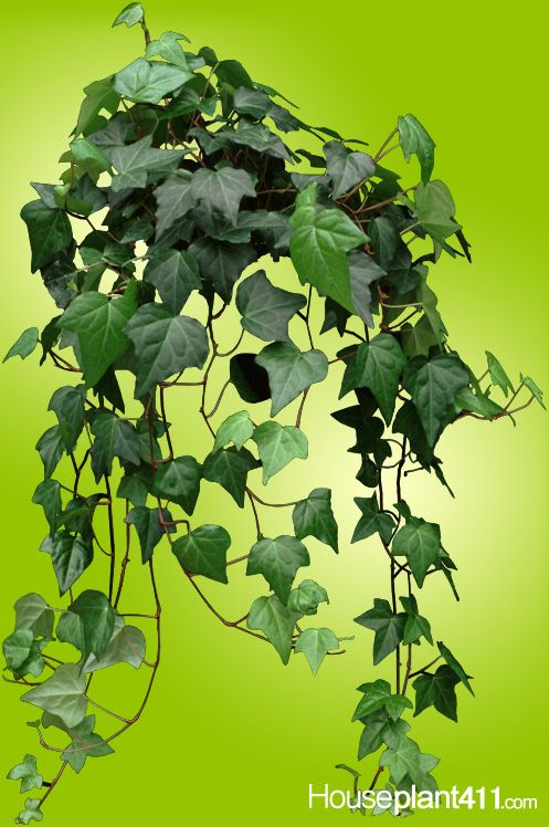 Crisp brown leaves on english ivy houseplants mean plant for Low maintenance indoor hanging plants