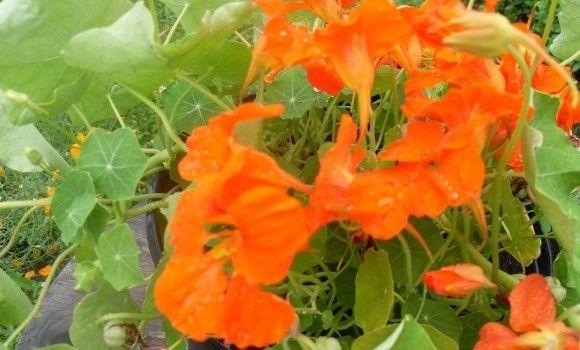 des recettes fleurs comestibles savoureuses sur pinterest nourriture pour fleurs gla ons en. Black Bedroom Furniture Sets. Home Design Ideas