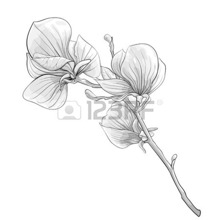 28491934-beautiful-monochrome-black-and-white-twig-blossoming-magnolia-tree-flower-isolated-hand-drawn-contou.jpg (1350×1350)
