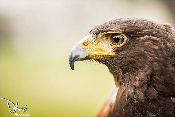 Kobie our Harris Hawk