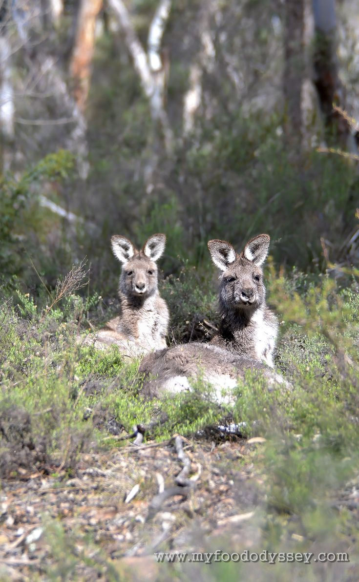 Kangaroos resting at Chesleigh Homestead in Sofala, Australia.
