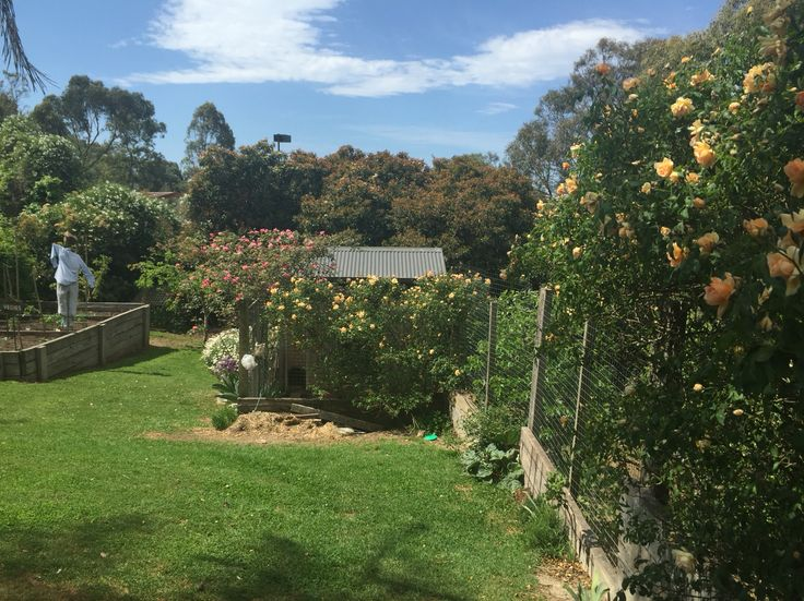 Pathway to our little piece of heaven.  Crepescule climbing rose grows on the fence of the chook run,  whilst Loraine Lee arbours over the gate.