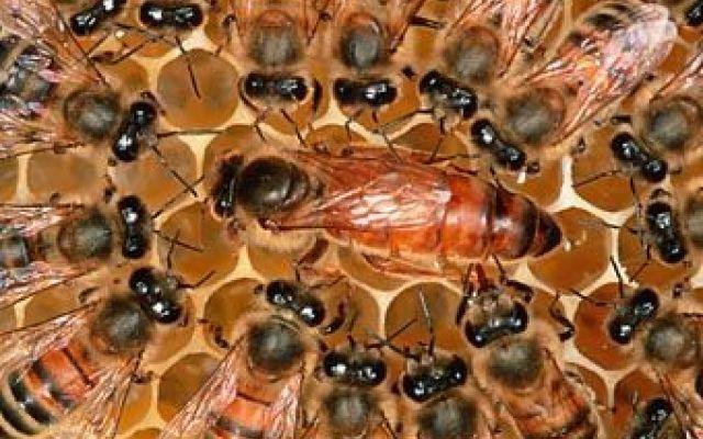 Tutto sulla vita delle api regine #venditaapiregine #pacchid'api