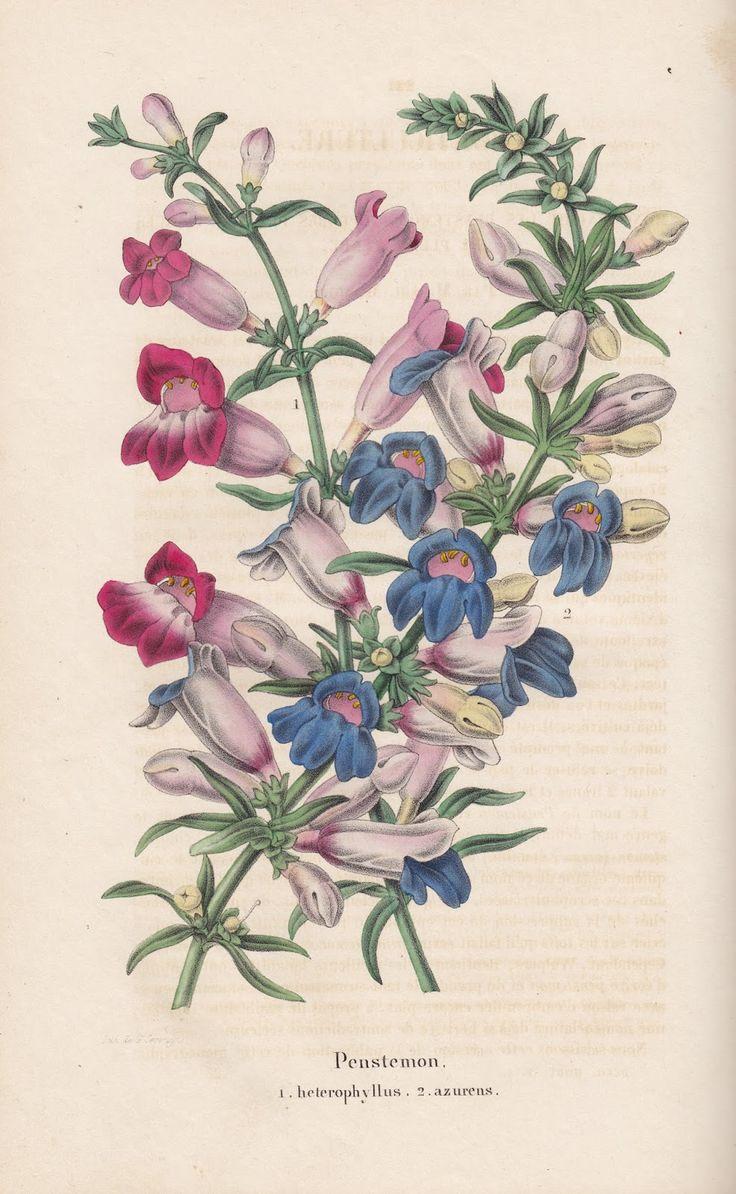 Free Vintage Botanical Printable Beardtongue Penstemon from Old Belgian Book.