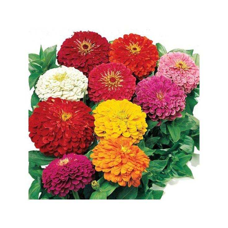 بذر گل آهار الوان Flower Seeds Zinnias Flower Pots