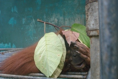 Tila - www.earth4orangutans.com to work out why she will never be released and why she needs a island haven