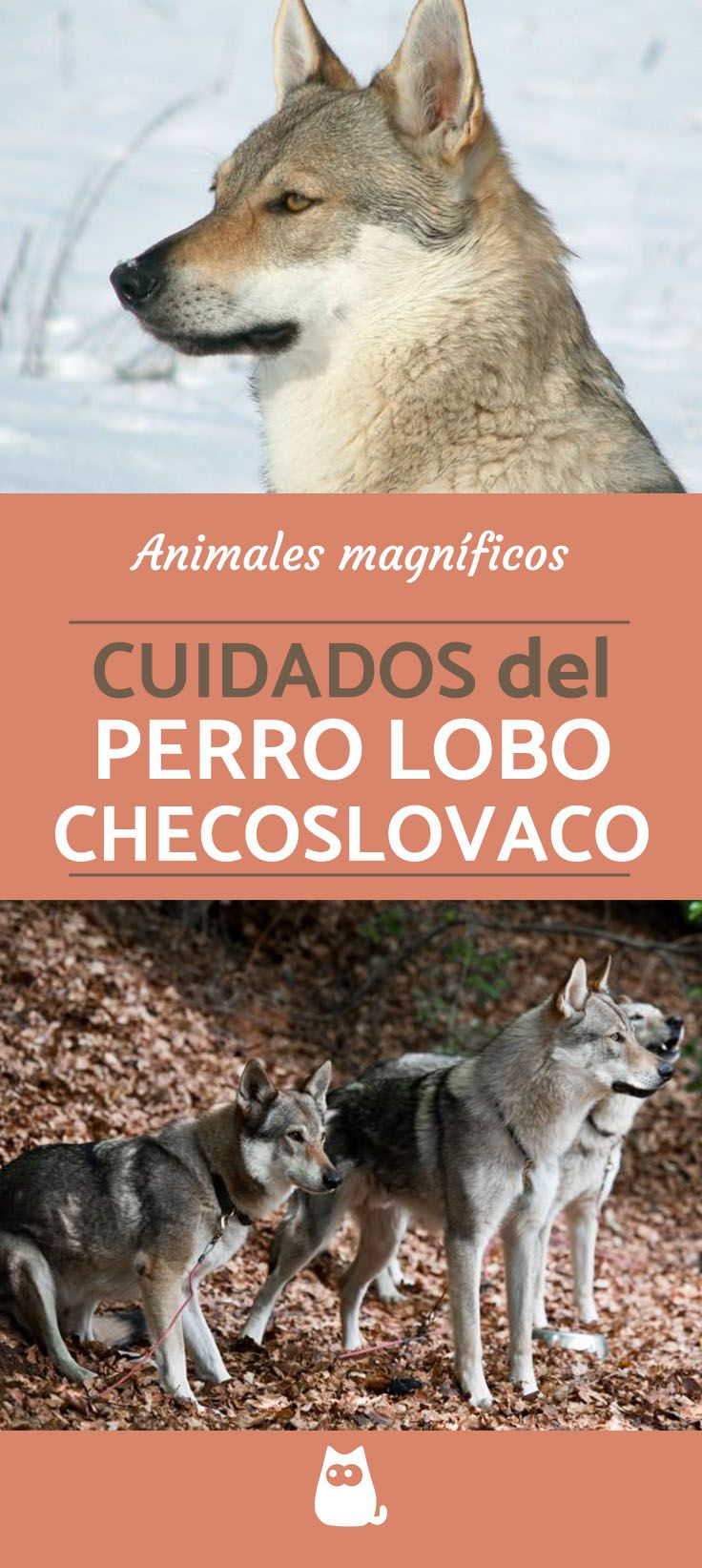 Perro lobo checoslovaco - CUIDADOS   #perrolobochecoslovaco #Razasperros #Mascotas #Perros #ExperoAnimal