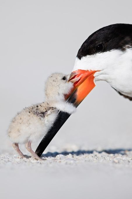 Black Skimmer and Chick (photo credit: http://www.outbackphotoadventures.com/)