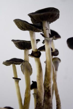 "single high dose of the hallucinogen psilocybin, the active ingredient in so-called ""magic mushrooms,"" was enough to bring about a measurable personality change lasting at least a year in nearly 60 percent of the 51 participants in a new study"