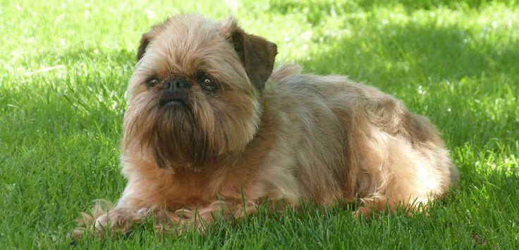 Te lo contamos todo sobre el perro de raza grifón de Bruselas