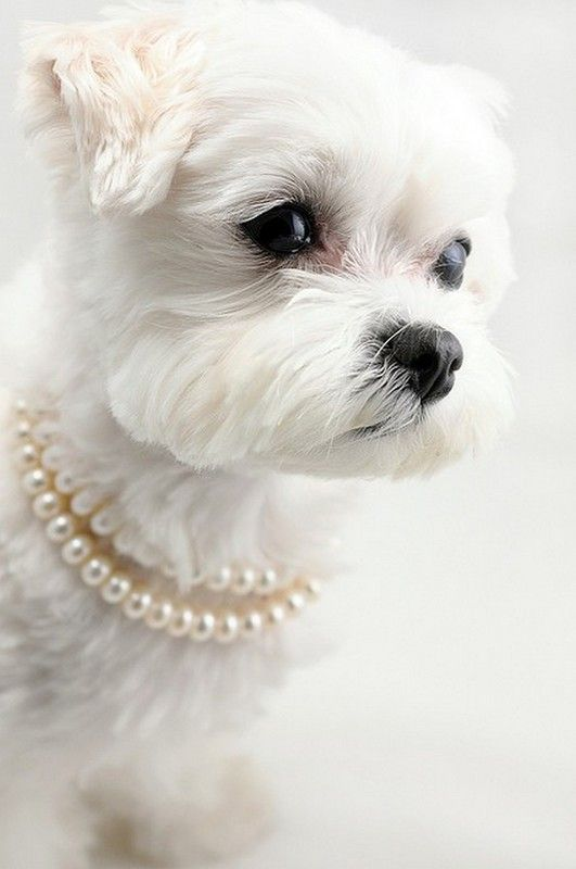 ]]>Puppies, Pearls Necklaces, Beautiful, Pets, White, Baby Girls, Baby Dogs, Animal, Little Princesses