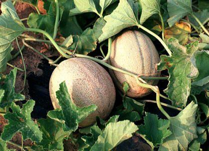 Como cultivar melon -Huerto de Urbano