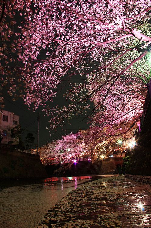 Gumyoji night sakura (By Kaz Empson)