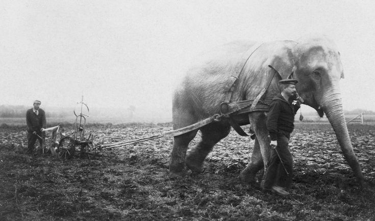 When Horses Went To War, Circus Elephants Plowed The -4397