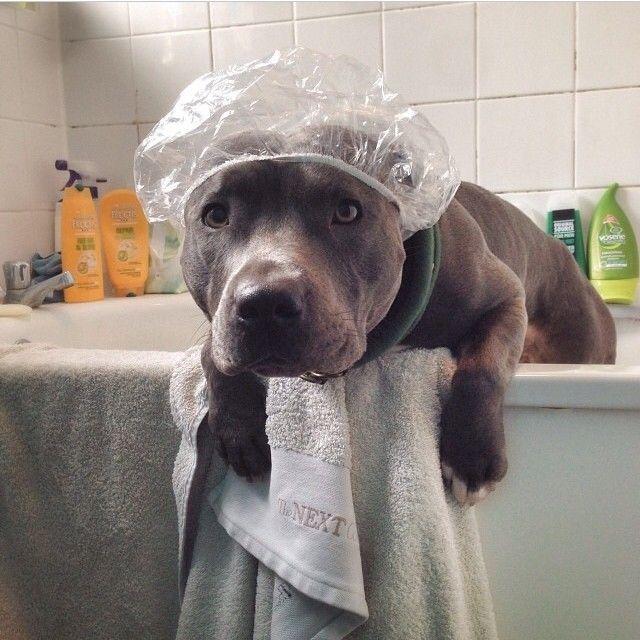 Cutie pitbull