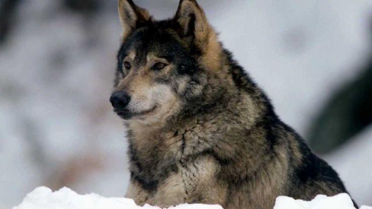 Vladimir Vysotsky - The Hunting Of Wolves
