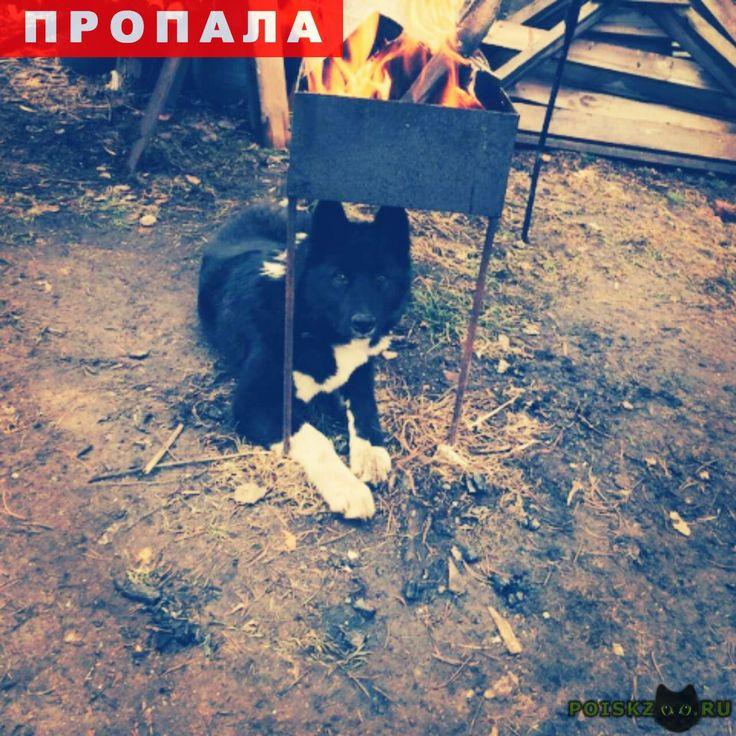 Пропала собака кобель украли лайку, возможно сбежал и в г.Красноярск http://poiskzoo.ru/board/read27204.html  POISKZOO.RU/27204 Прошу помощи всех не равнодушных! украли кобеля лайки, ..месяцев, был в ошейнике. Основной цвет черный, белая грудь и лапки. Хвост пушистый, крючком, кончик беленький. Откликается на кличку РОЙ. Возможно он сбежал от своих похитителей т. к. его видели в разных районах города. Он исхудавший и напуган, мы ищем, реагируем на любую информацию, но пока мы доедим с п…
