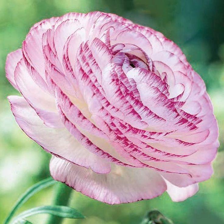 Hänförande vacker Ranunkel med blommor i vitt med rodnande kronblad. Tips är att samplantera den med andra blommor som tål lägre temperatur t ex penséer och vintergrönt men ta in den om det blir frost.   Knölar till Ranunkel Picotee White beställer du i webbutiken! #ranunkel #blommor #flowers #wexthuset #flowerstagram #trädgårdsliv #mygarden #plantera #vårkänslor