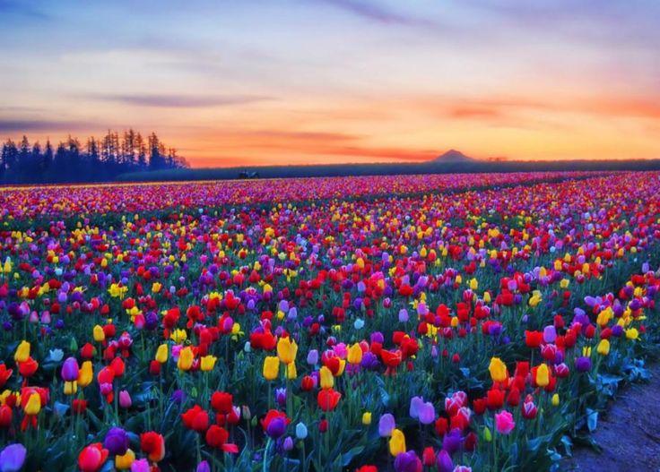 Spring Flowers Tulips Field Sunrise Grass Clouds: Tulip Fields, Skagit Valley, Washington