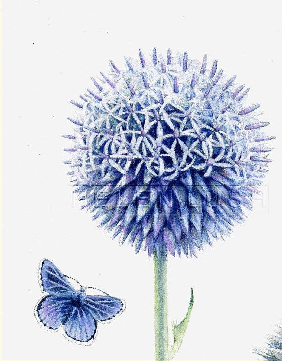 Original watercolour painting of Globe Thistle by DaffodilStudio