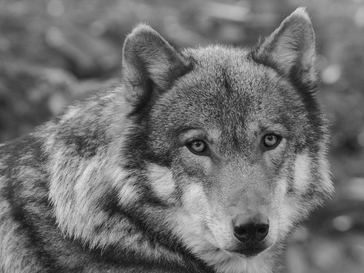 Displaying 18> Images For Black And White Photography Wolf. Black ...