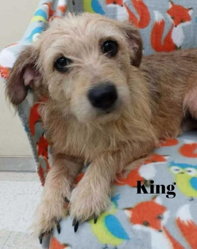 King - Yorkshire Terrier/Cairn Terrier mix - Male - 6 yrs old - Bishop's Small Dog Rescue - Wyanet, IL.
