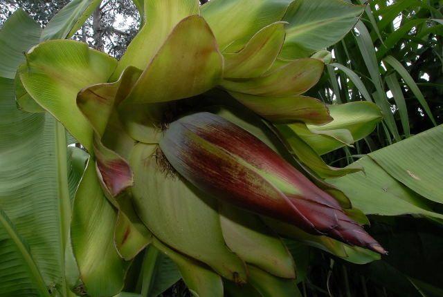 abyssinian-banana-flower-01.jpg (640×430)
