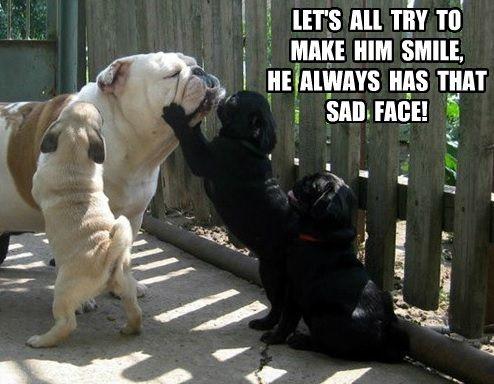 Funny Pug Dog Meme: Pug Puppies vs Bulldog Part 1