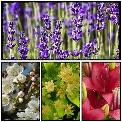 lavender, lawenda, seeds,   seed, grow, home, homesteading, farm, flowers, vege, nasiona, rozsada, warzywnik, zioła, kwiaty, byliny, ogród