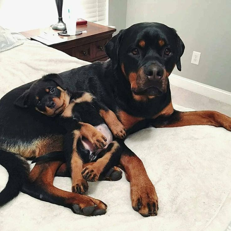 Caption this by waltrey in 2020 rottweiler dog