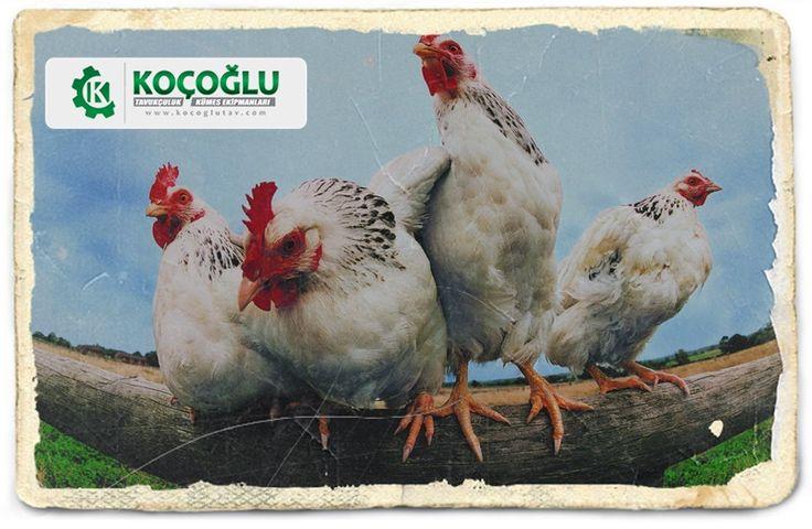 Tavuk satışı ve yetiştiriciliği yapanlar veya yapmak isteyenler için kümes ekipmanları http://www.yarkaburada.com