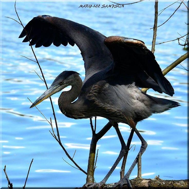 Vancover BC, Heron