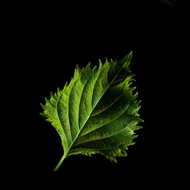 Remember the green plastic thingy that comes with your sushi? It's called 'baran' and it serves both as a garnish and a divider between your futomakis and kappamakis. Now it's time to grow your own: #Shiso leaves are the real thing. Besides, they taste much better than corrugated plastic. #herb